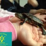 EuropaeischeSumpfschildkröte_LittleShopOfScience